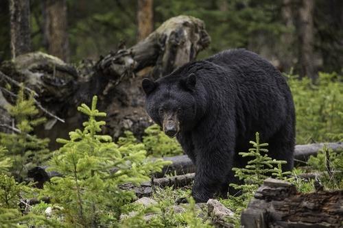 black-bear-1170229_960_720.jpg