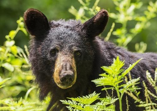 black-bear-1611349_960_720.jpg