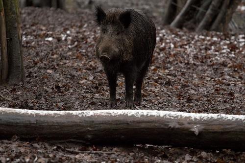 boar-657911_960_720.jpg